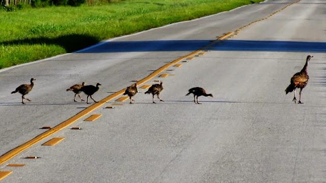 Video: Wild Turkey Mother's Day