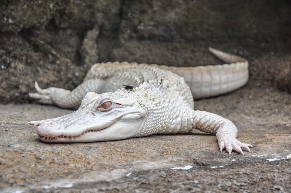 Crocodile albinos