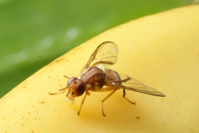 flies arrow fruit flies banana groucho marx