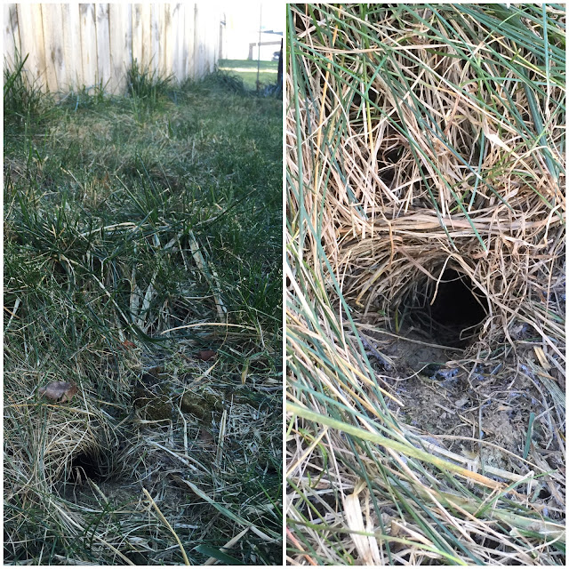 vole holes in yard