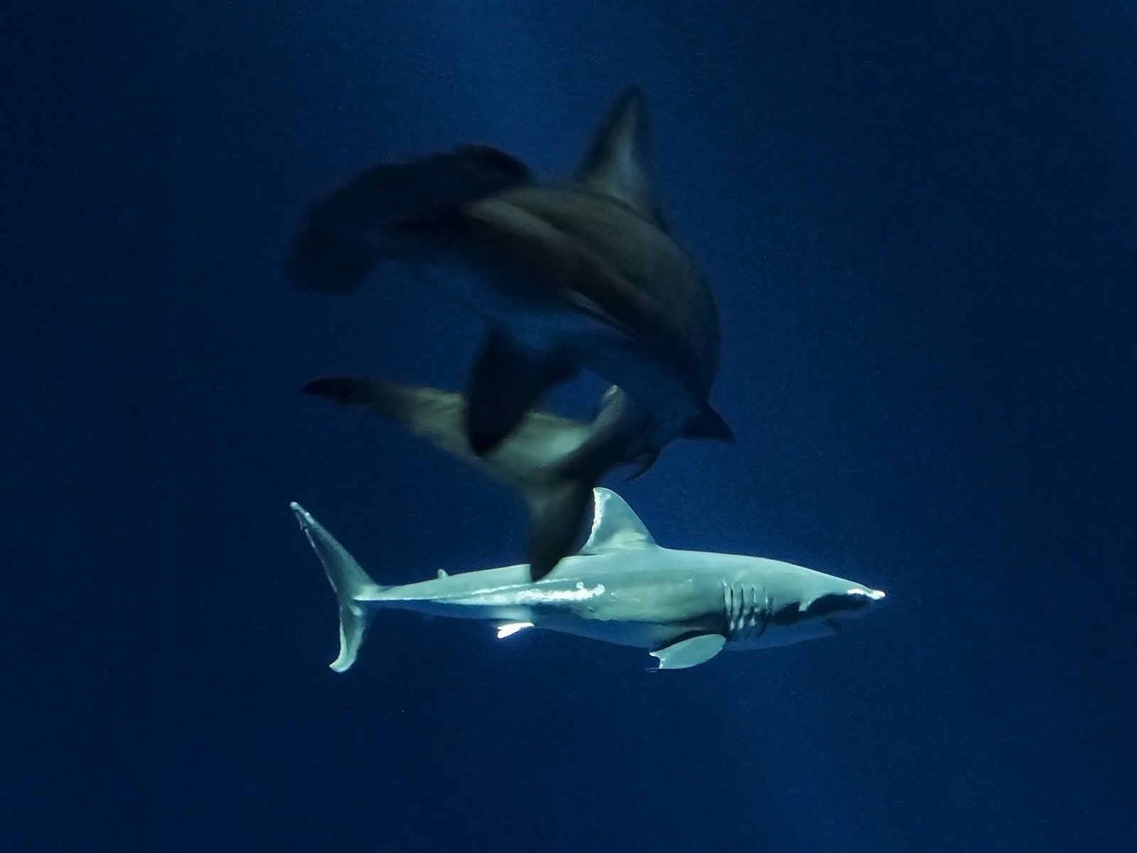 Precise Moments in Time: Great White Shark @ Monterey Aquarium