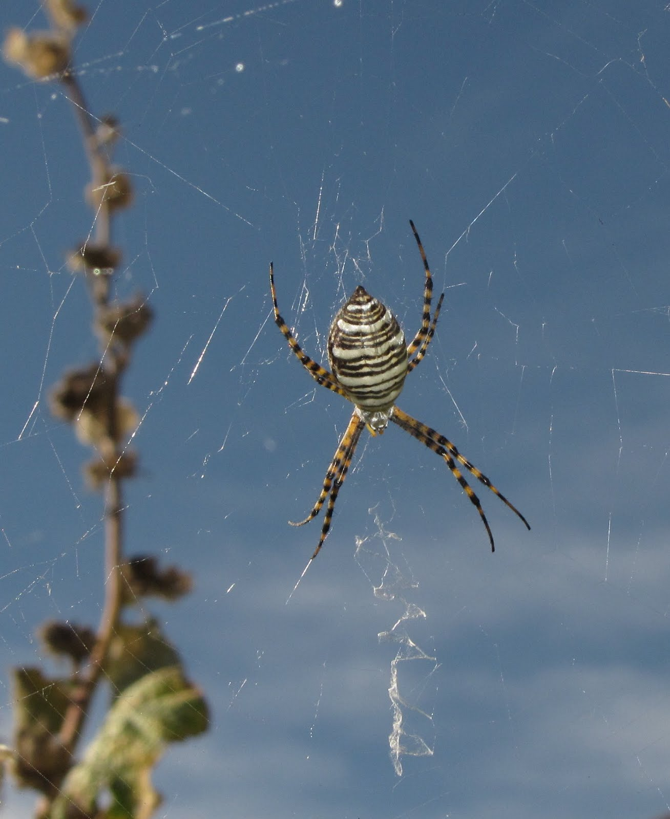 bug eric spider sunday banded argiope