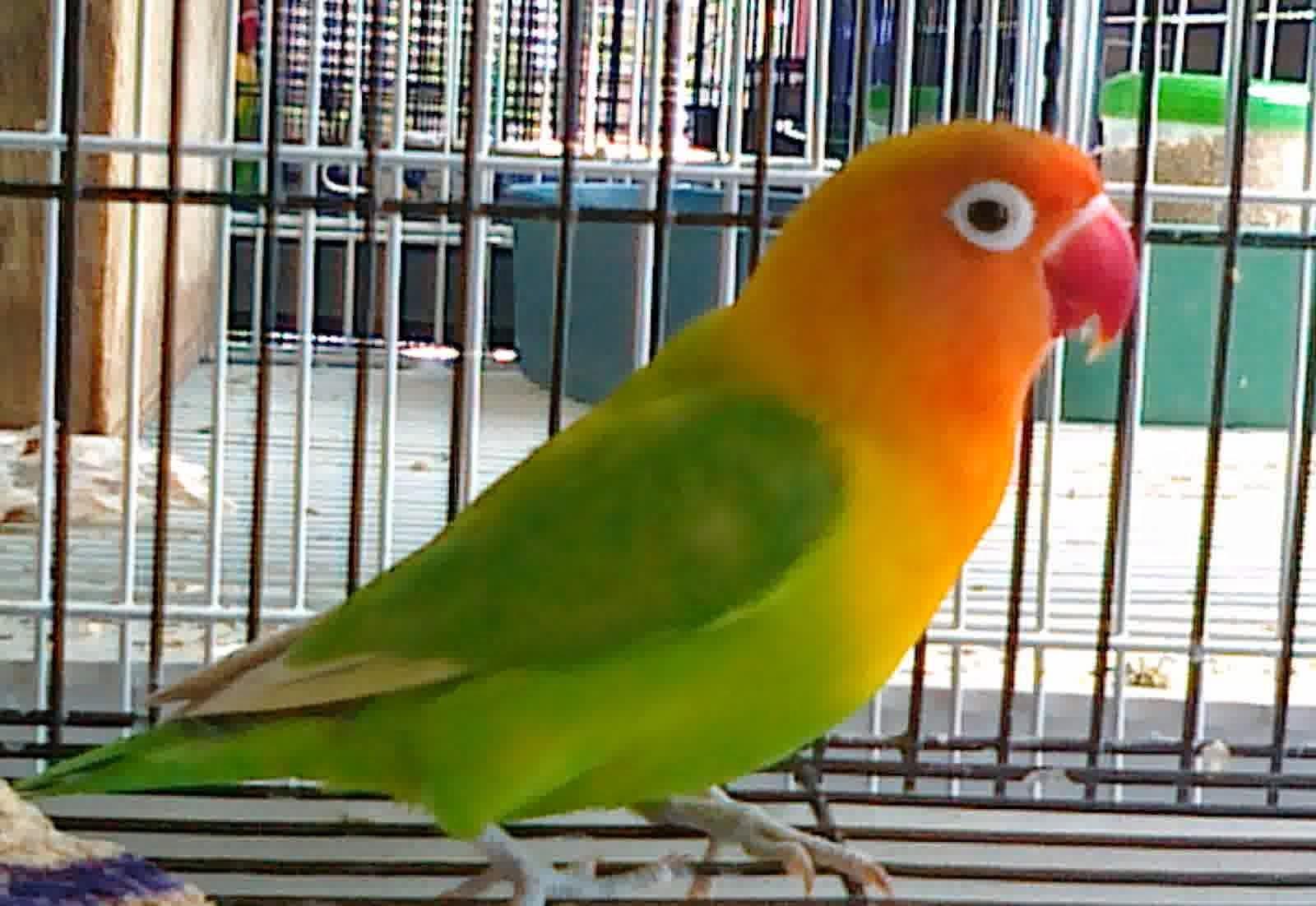 om hoby warna warni burung love bird
