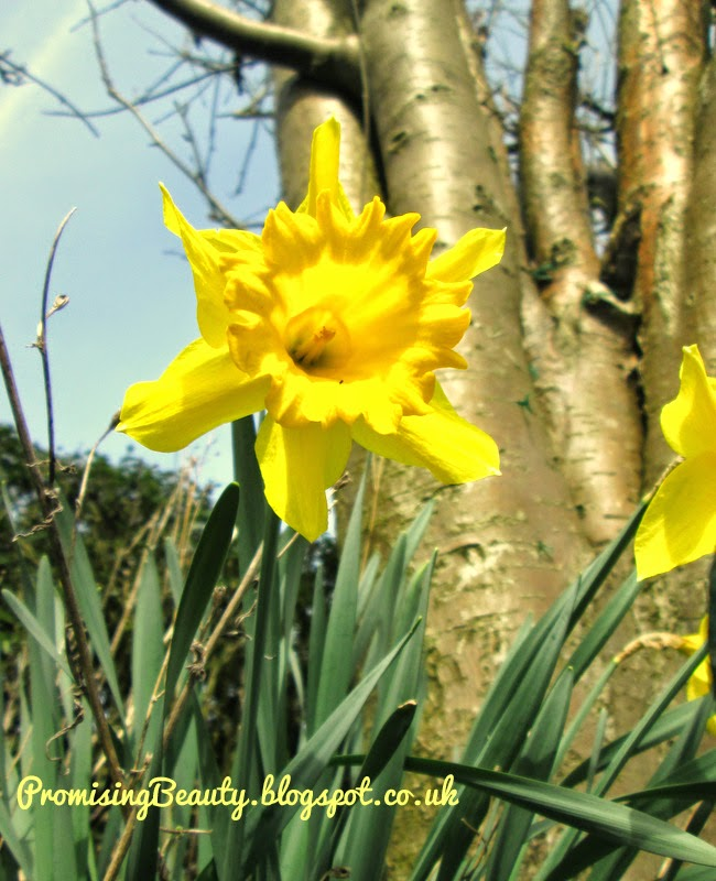 Daffodils or jonquils blooming in psring in british garden. Beautiful yellow flower.