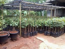 Daftar Harga Bibit Durian Bawor Terbaru 2016
