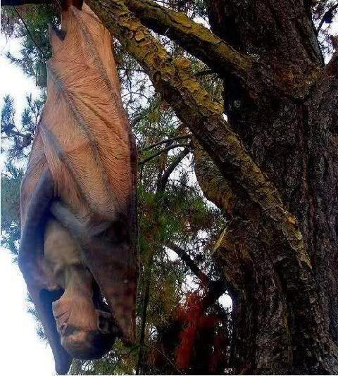 Largest Bat with Face of Human - Palawan