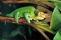 lingua - Lingua de camaleão inspira design robótico  020_chameleon
