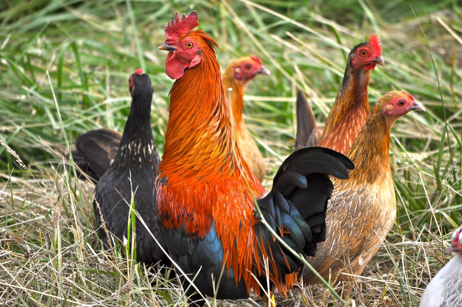 http://1.bp.blogspot.com/-T4IasKktRgk/UB4HHh2KCaI/AAAAAAAAPgg/5WamDIX35g8/s1600/Chicken+Family+1.jpg