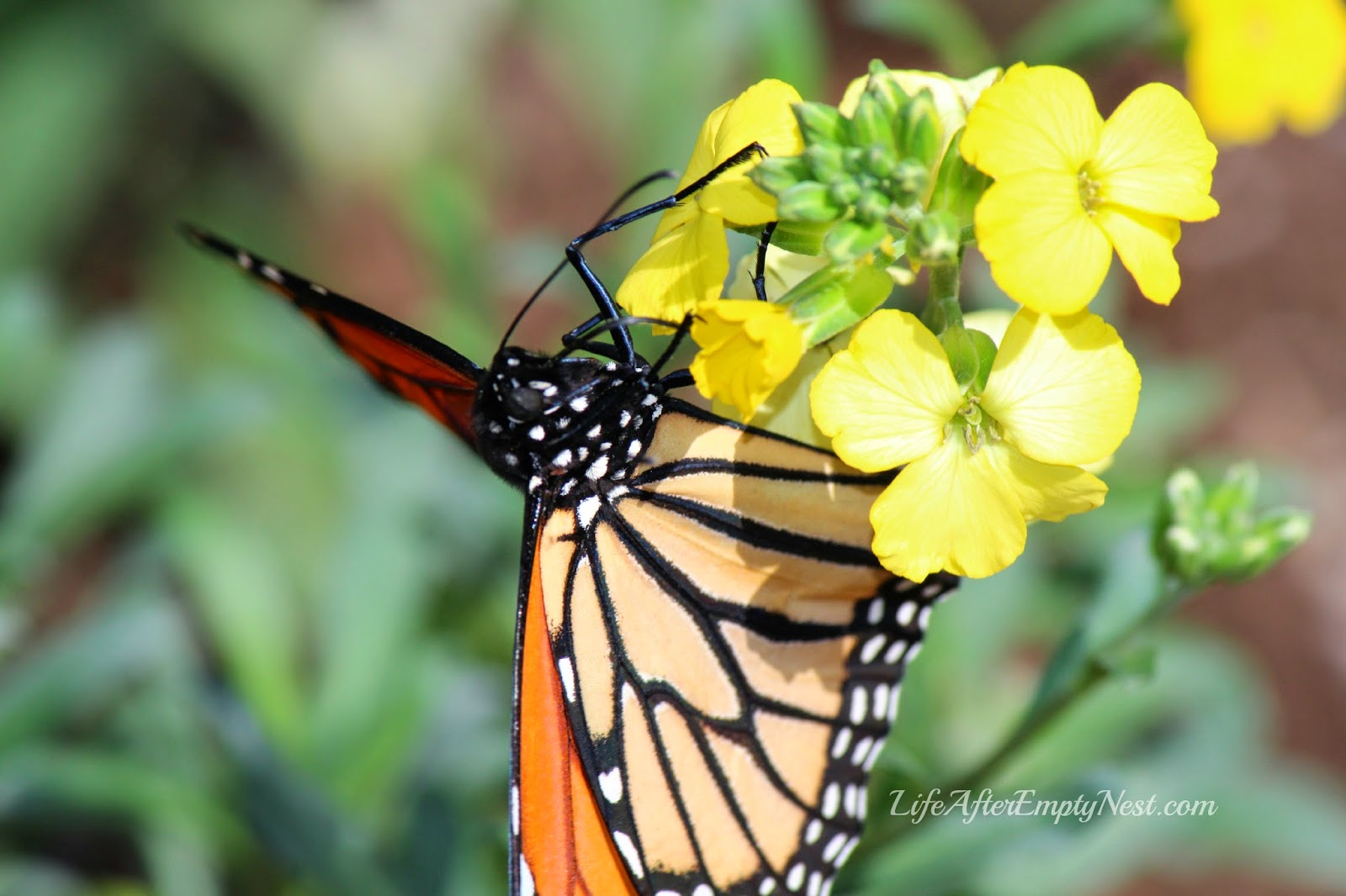 Life is all about taking the time to discover the miracles in each new day. #monarch
