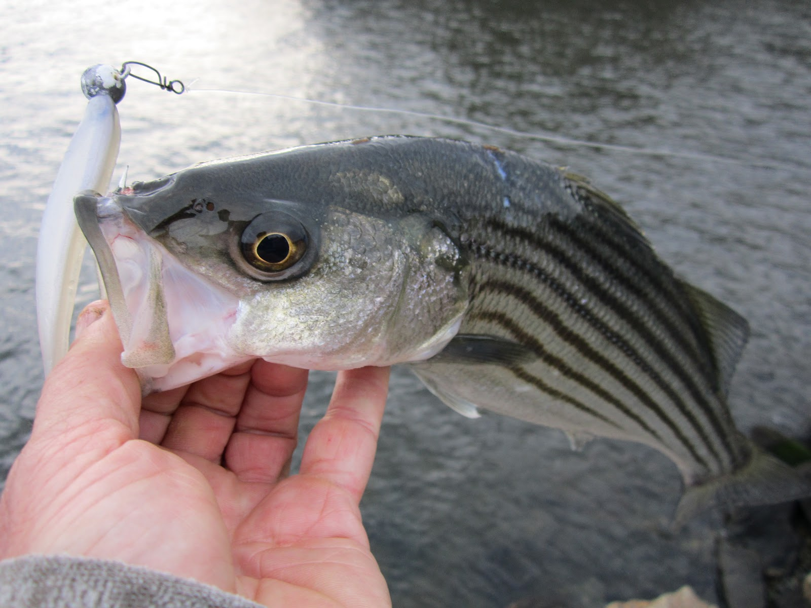 Rhode island striped bass some of the hottest spring for Best striper fishing spot in ri