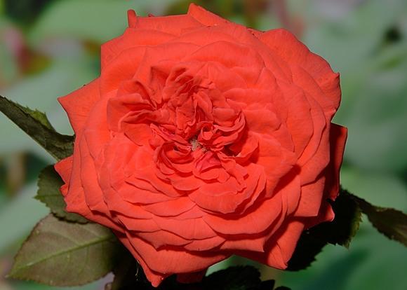 Salita rose сорт розы фото