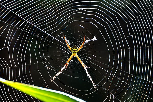 yellow banded spider cross zig zag