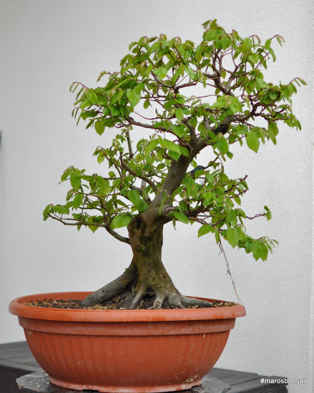 Maros Bonsai Blog Story Of My Bonsai Tree Hornbeam No3 Gemini