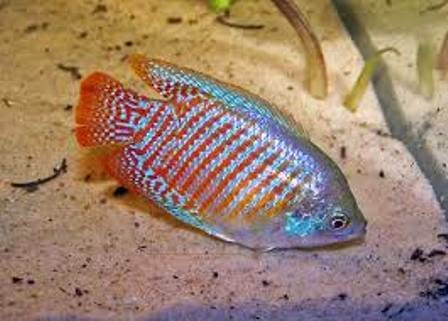 Freshwater Tropical Fish Care For The Dwarf Gourami