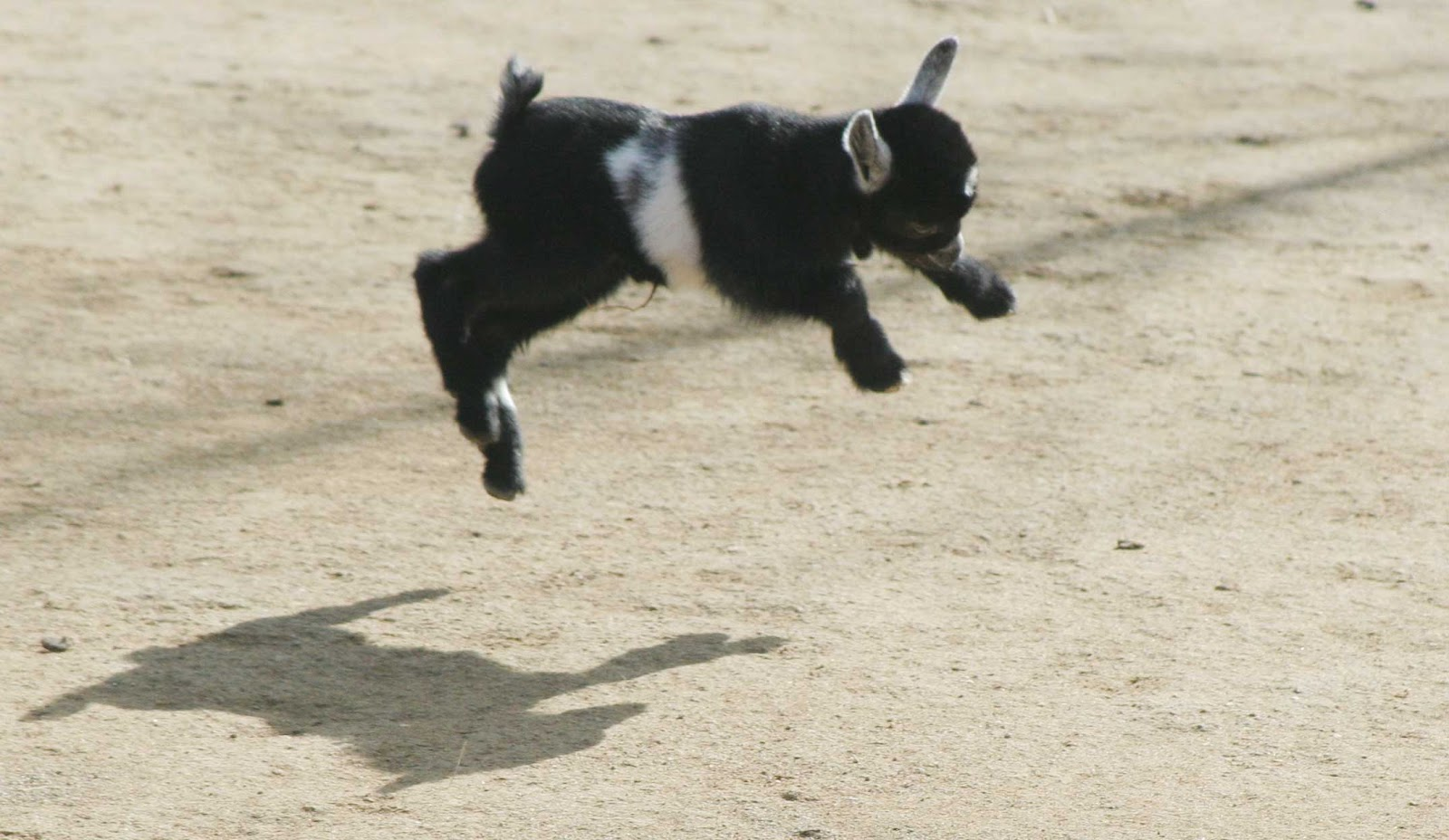 Baby pygmy goat jumping - photo#6