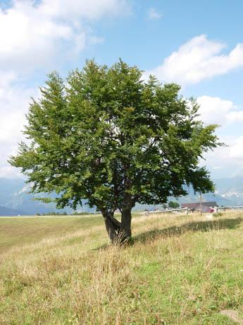 Alberi - Alberi da giardino sempreverdi da ombra ...