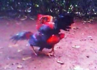 Video Ayam Bangkok Aduan Gulung Pukul Vs Kontrol