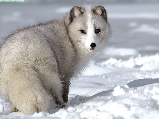arctic fox wild animal wallpaper