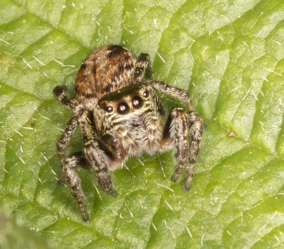 Jumping Spider, Salticidae.  High Elms Country Park, 15 May 2014.