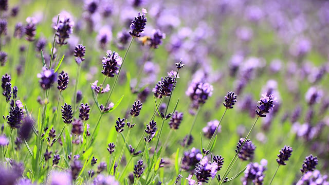 Lavender Purple Flowers Field Meadow Blurred Close-up HD Wallpaper