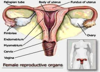 vagina, ovum, ovarium, alat reproduksi wanita, himen, selaput dara, klentit