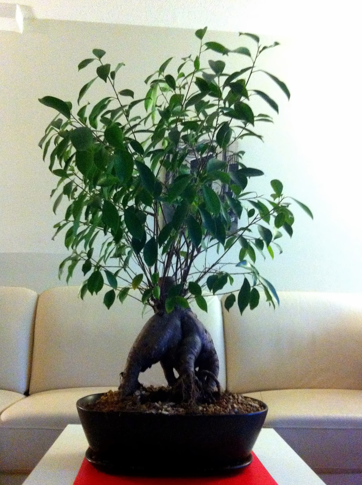 Ginseng Ficus Bonsai Tree Ficus Retusa My GARDENING