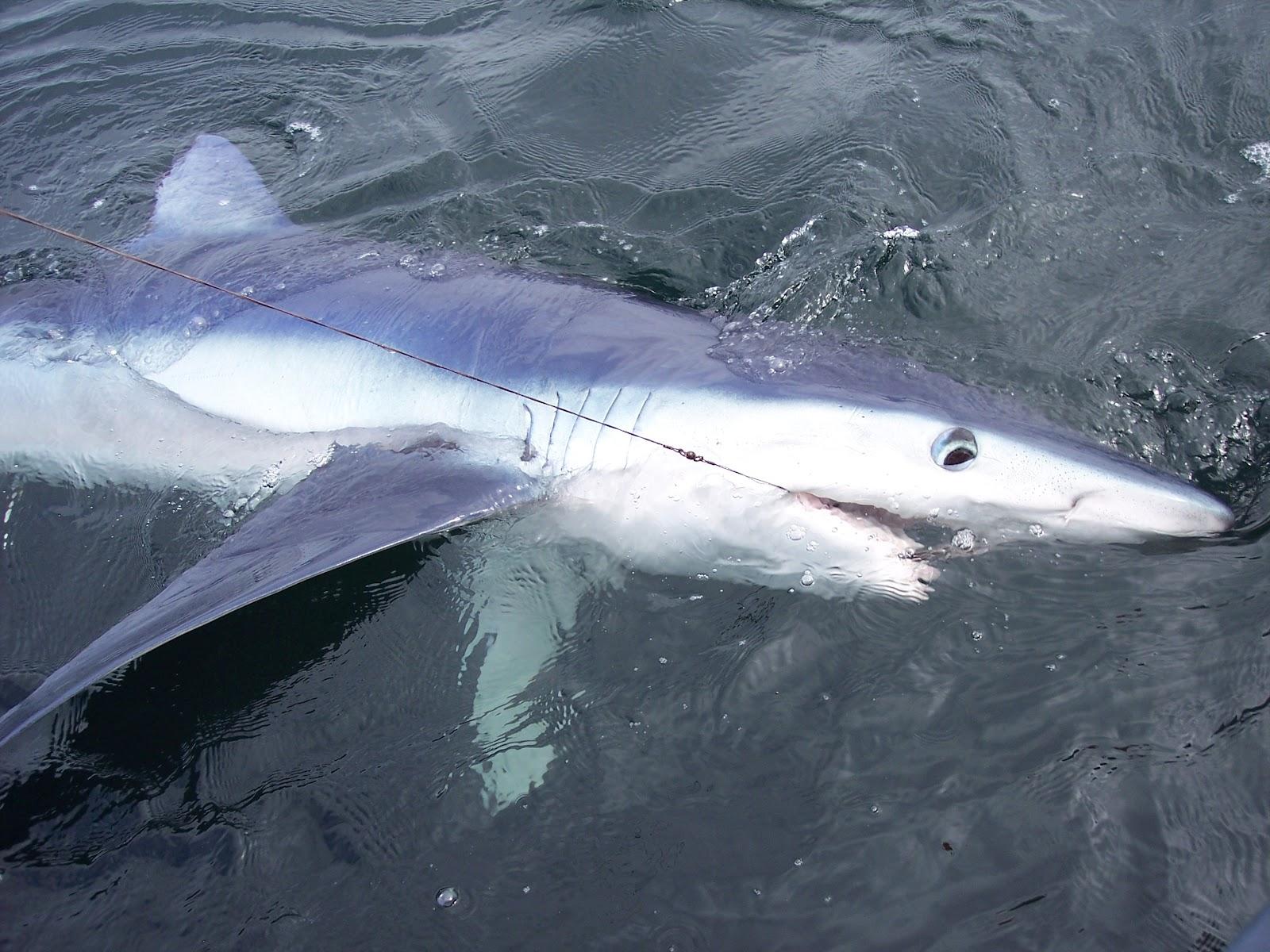 John Skipper >> Cork Harbour Angling Hub: Shark Attack.....