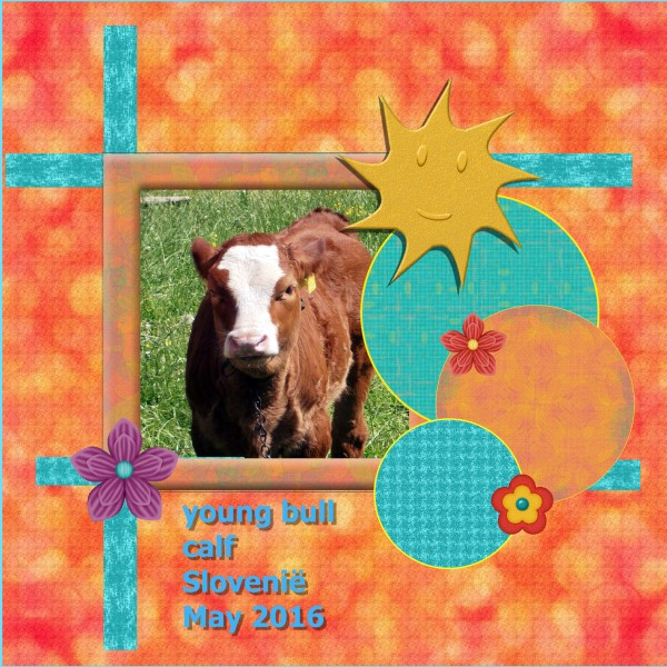 July 2016 - young bull calf