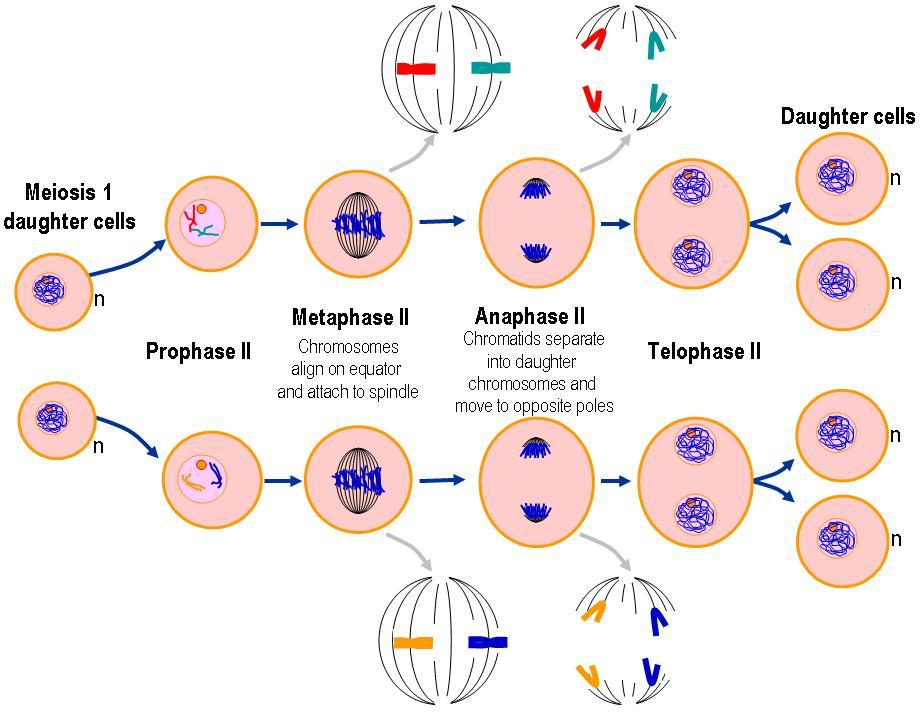 Pembelahan sel lets learn biology meiosis ii ccuart Image collections