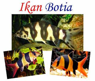 Ikan Botia