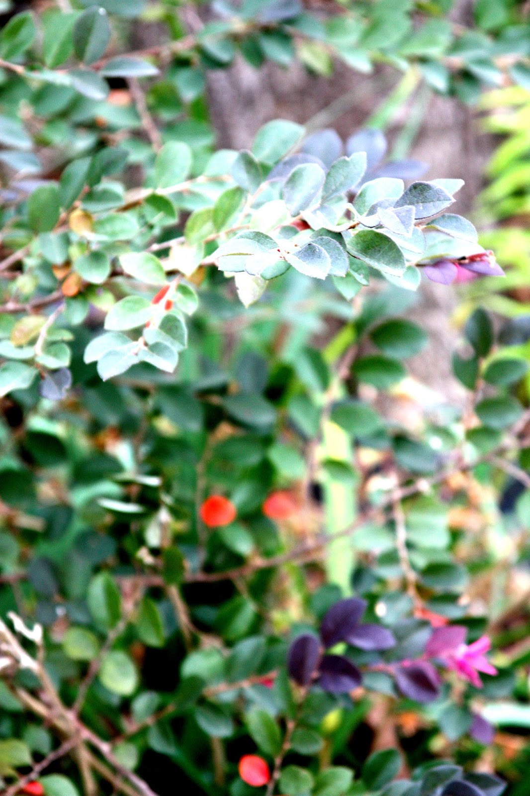 Purple leaf shrub with pink flowers - The Shrubs Current Popularity Came In The 1990 S When The New Varieties With Purple Leaves And Pink Flowers