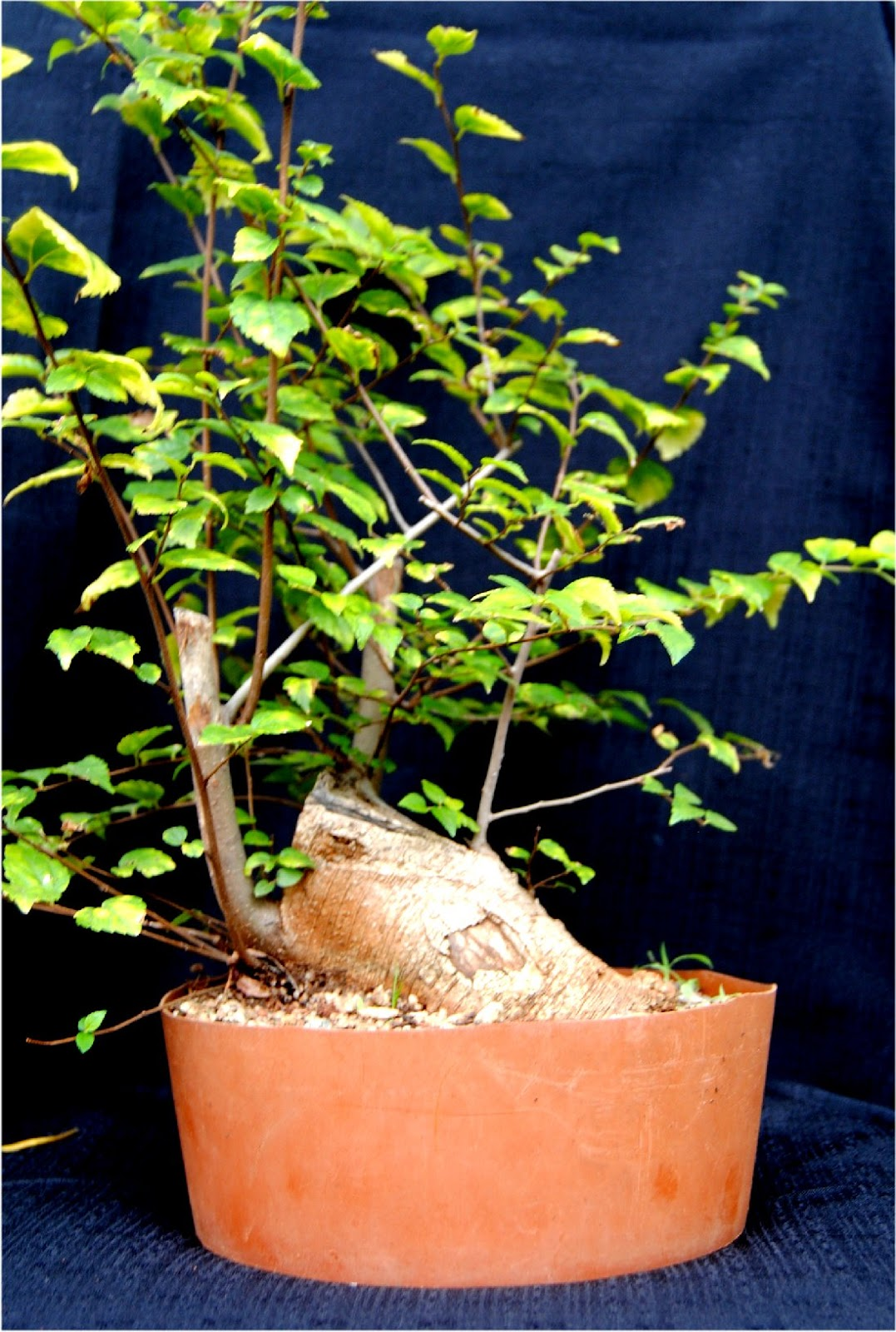 Celtis Africana African Species For Bonsai All Pictures Will