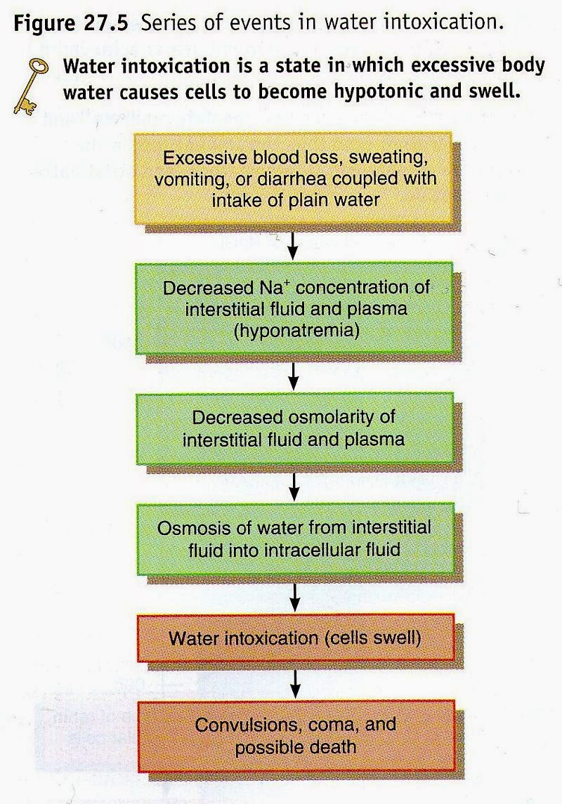 Human body flow diagram mania to understand this flow diagram its good to mention one important rule the water follows the salt nacl and the salt follows the water nvjuhfo Image collections