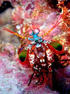 ikan hias cantik indah : Mantis Shrimp