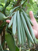 Quả xanh vani tự nhiên mikka vanilla