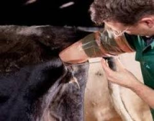 Ứng dụng CNSH vào chăn nuôi bò sữa.