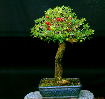 Pitanga bonsai