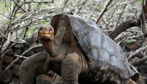 Essa tartaruga salvou sua espécie inteira