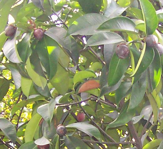 tropik meyveler