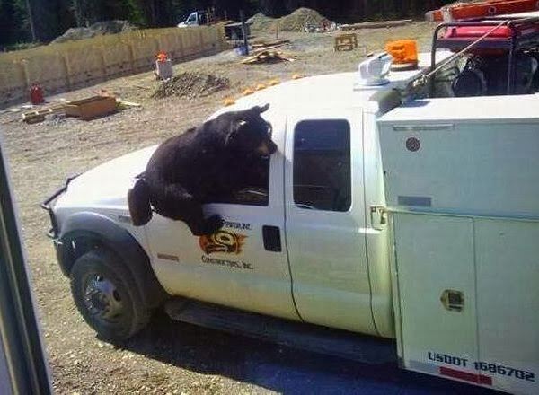 Funny animals of the week - 3 January 2014 (40 pics), bear tries to get in a truck