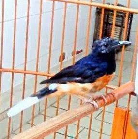 burung ganti bulu, mengatasi burung ganti bulu, tips merawat burung ganti bulu