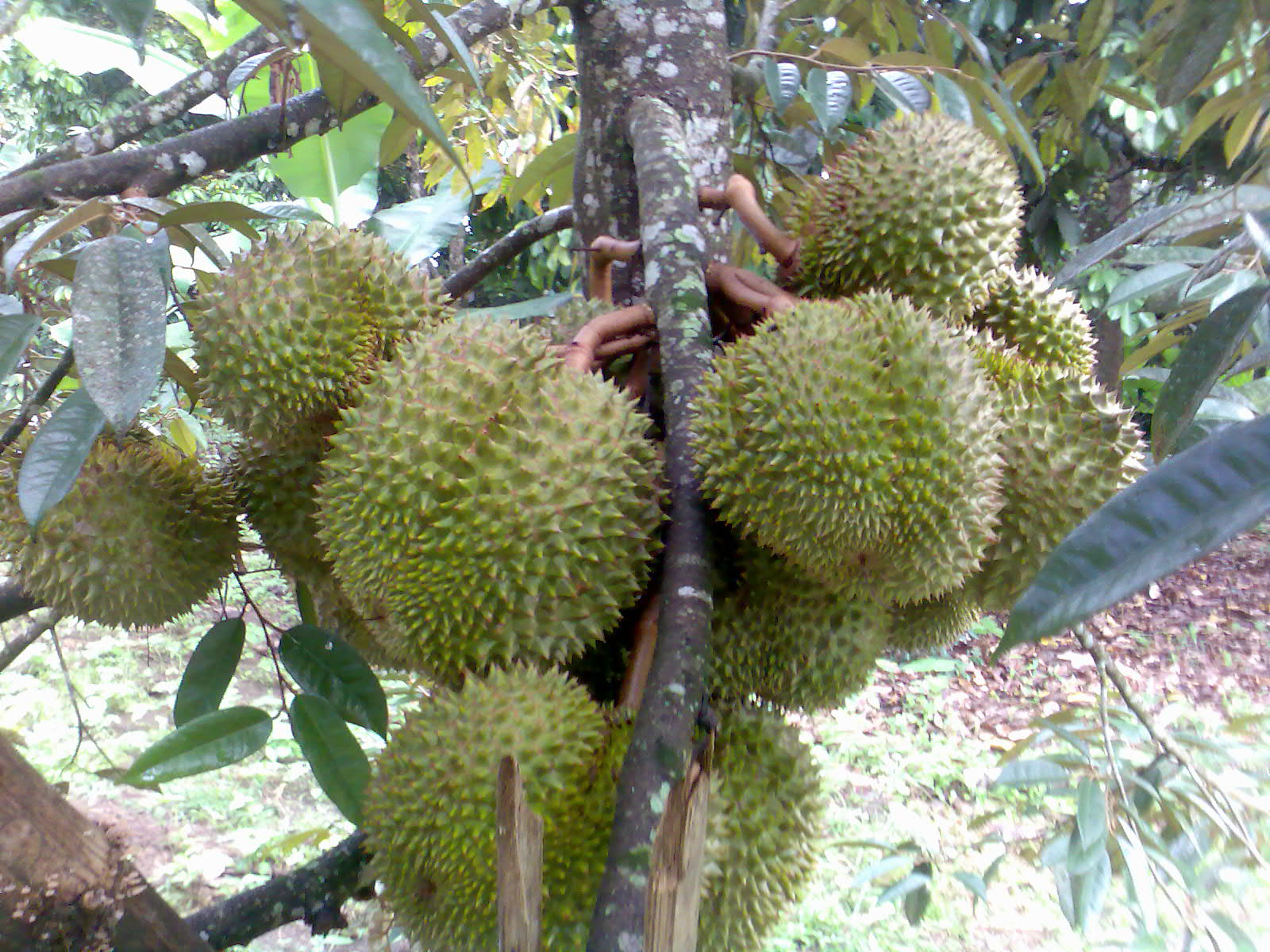 Make It Davao Durian King Of Fruits