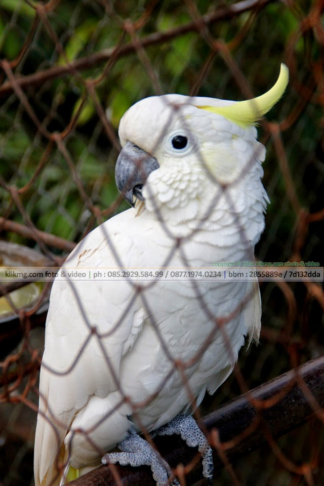 Kakatua / Kakak Tua Jambul Kuning (or) yellow-crested cockatoo - foto oleh : klikmg fotografer Indonesia