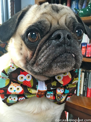 Liam the pug really likes to wear his bow tie