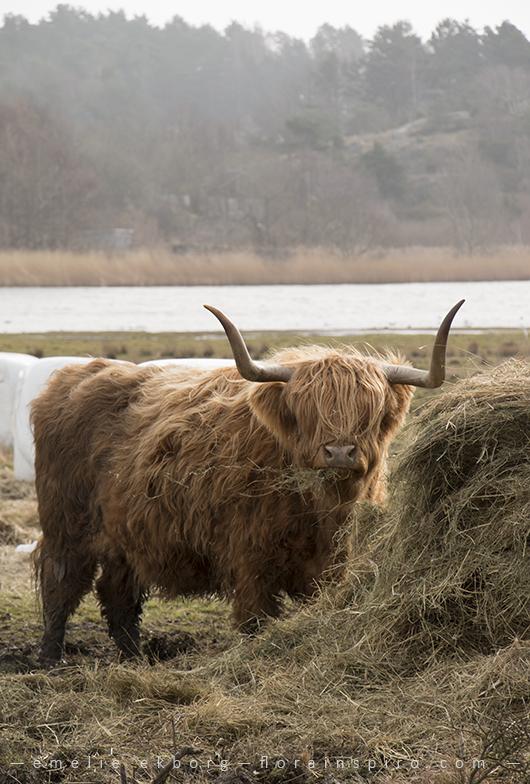 highland cattle sweden, highland cattle, spring walk, spring photos