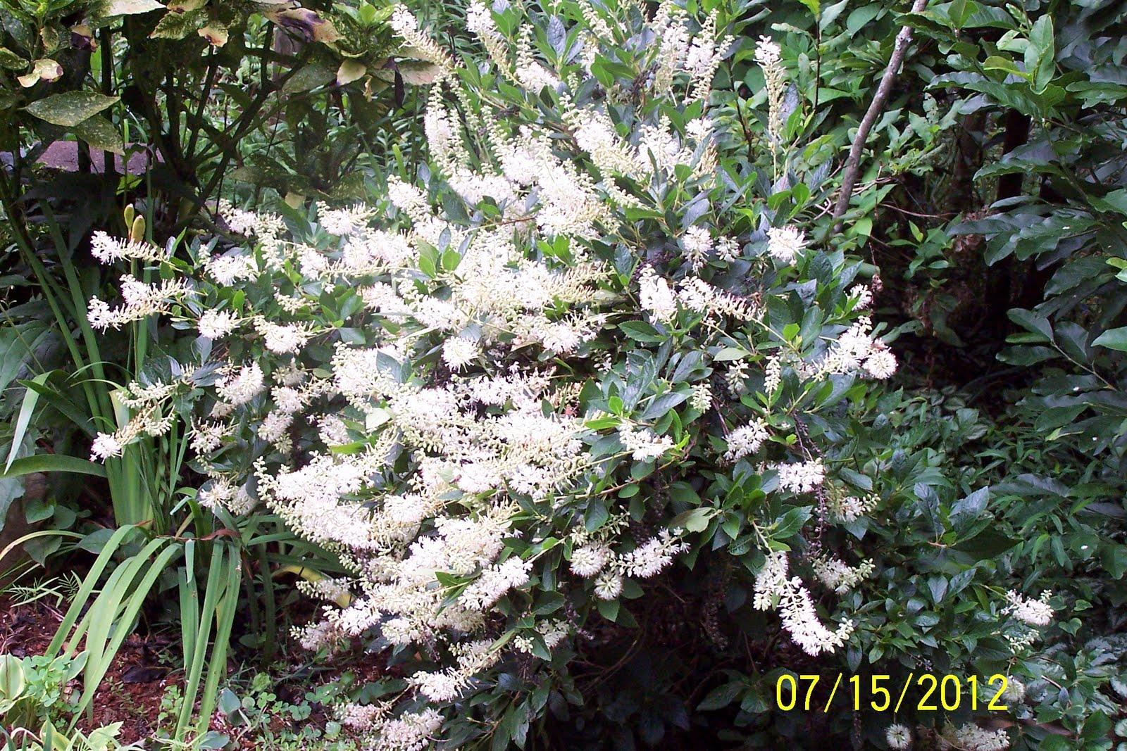 Jean The Plant Lady Hummingbird Bush