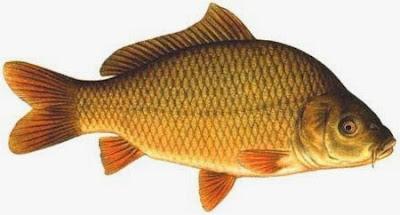Budidaya Ikan Mas Di Keramba Jaring Apung