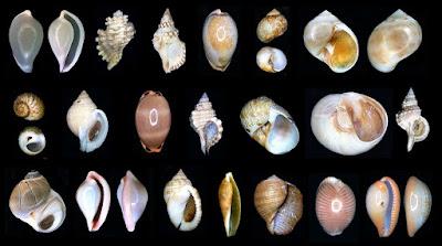 http://www.fotoconchigliemediterraneo.com/2013/02/in-allestimento-6-triviidae-eratoidae.html