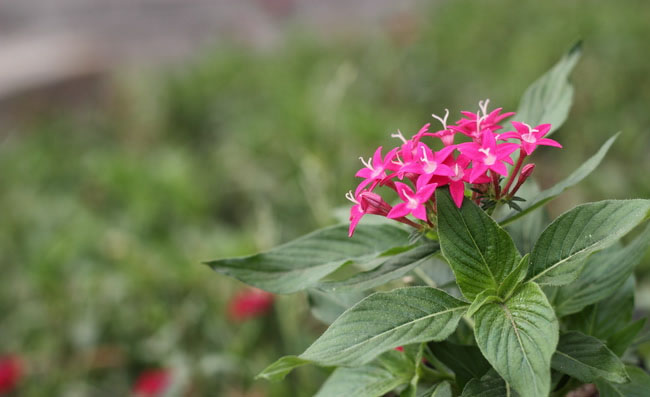 Pentas Flowers Pictures