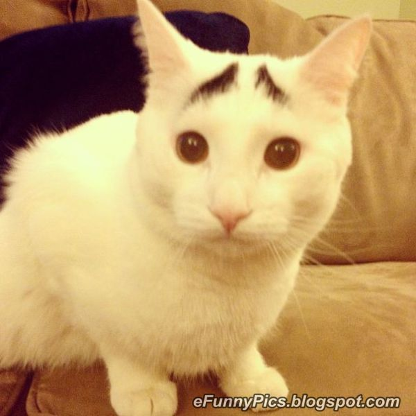 The Eyebrow Cat